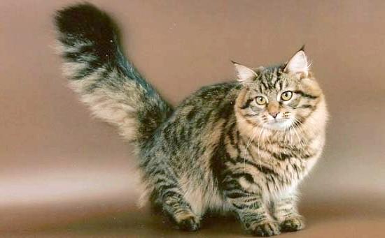 Сибірська кішка - великі породи кішок