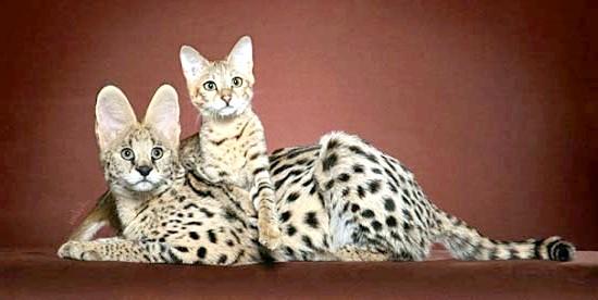найдорожча і велика порода кішок Саванна
