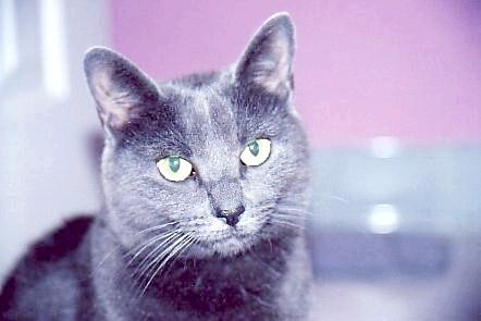 Фото - Сірі кішки: димчата удача