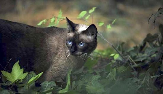 сіамські кішки фото