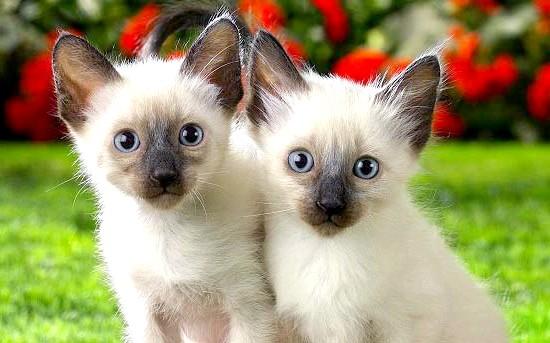 забарвлення сіамських кошенят фото