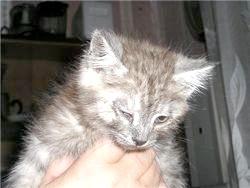 Фото - У кішки гниють очі - що робити ?!