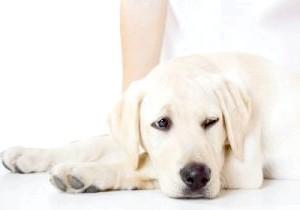 Фото - Що робити, якщо собаку нудить