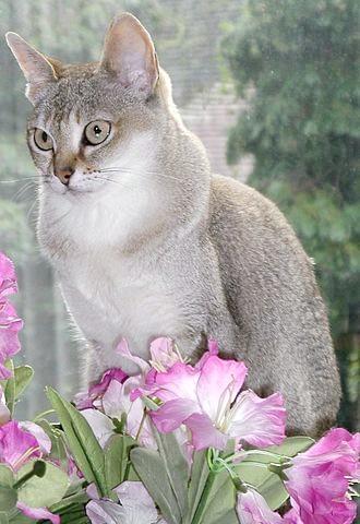 Сінгапуру - порода мініатюрних кішок