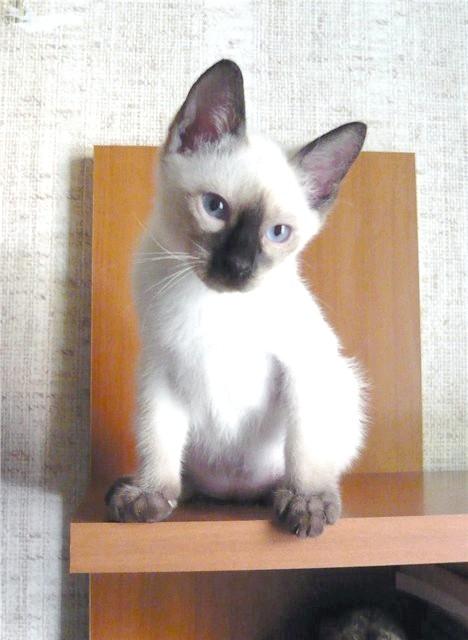 Той-боб - карликова порода кішок