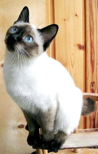 Скіф-тай-дон (той-боб) найменша порода кішок