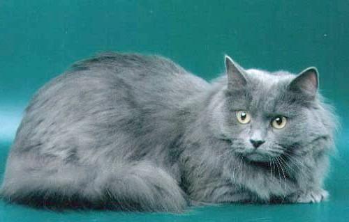 блакитні сибірські кішки фото