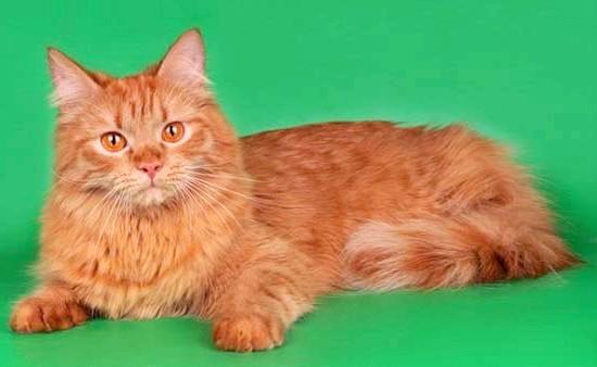 рудий сибірський кіт фото