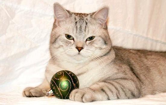 шотландська кішка фото
