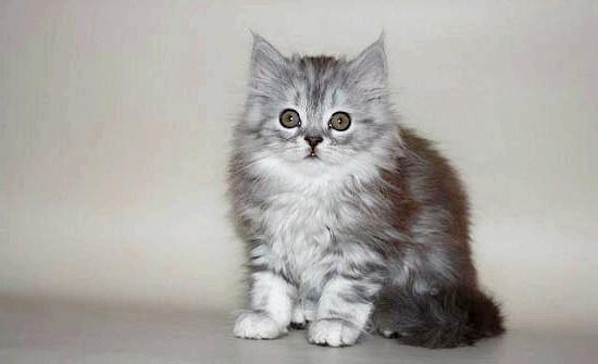 кошеня скоттиш-страйт фото