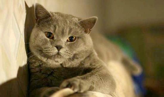 догляд за шотландської кішкою фото
