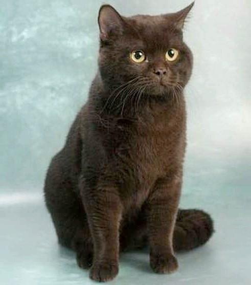 чорне забарвлення шотландська прямоухая кішка фото
