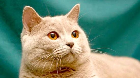 кремовий окрас шотландський кіт фото