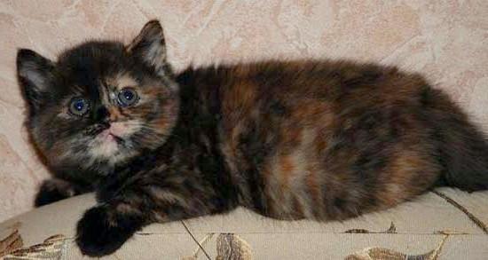 черепаховий окрас шотландський прямоухий котенок
