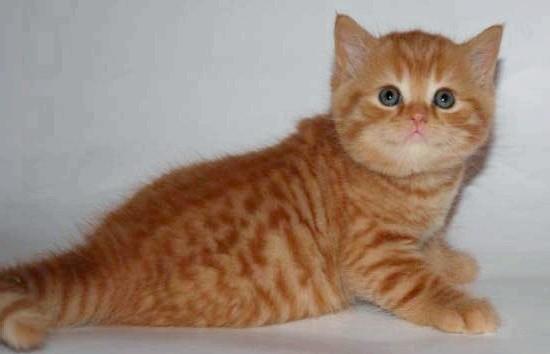 рудий шотландський кошеня фото