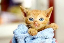 Фото - Вірусний перитоніт у кішок: симптоми, діагностика та лікування