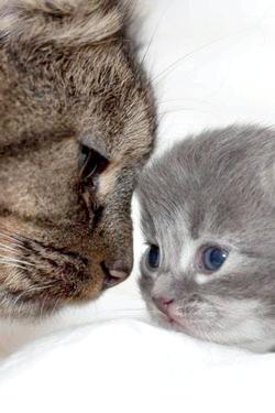 Фото - Виразка Якобса у кішок - симптоми і лікування