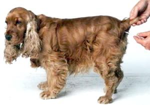 Фото - Як виміряти температуру у собаки