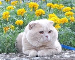 характер шотландської кішки