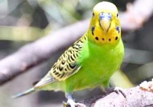 Фото - Застуда у хвилястого папугу