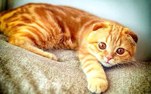 рудий окрас шотландський висловухий кіт фото