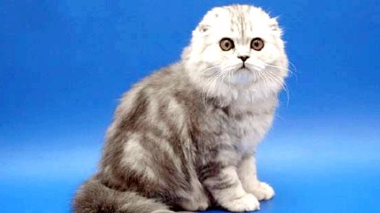 скоттиш-фолд кішка
