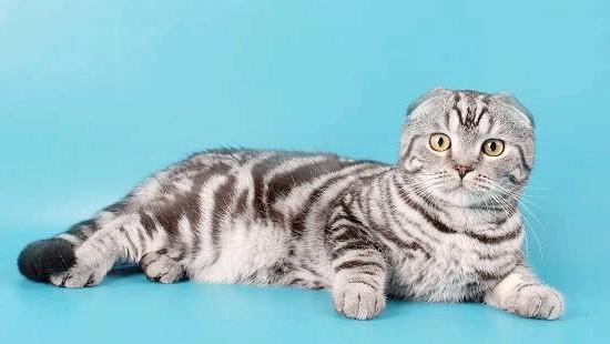 мармуровий окрас шотландська висловуха кішка фото