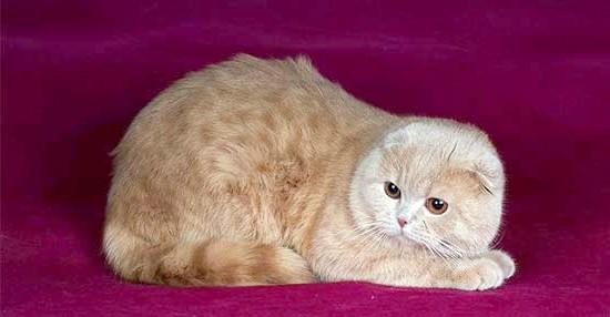кремовий окрас шотландська висловуха кішка фото