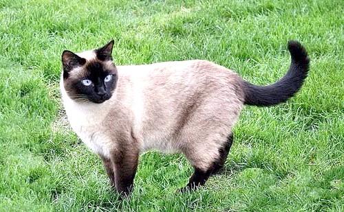 тайська кішка фото