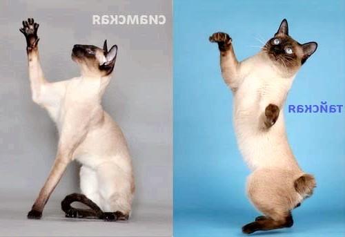 відміну тайської від сіамської кішки