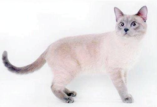 блю поінт тайський кіт