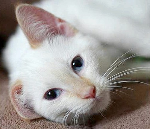 кремовий окрас тайський кошеня фото