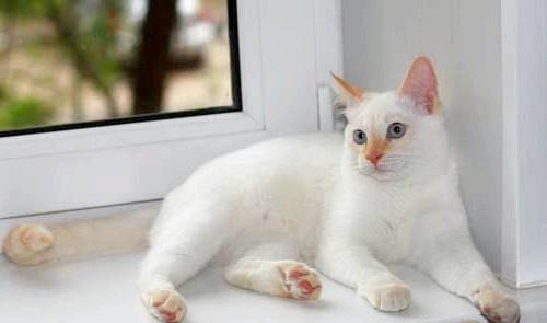 червоний відтінок тайський кіт фотографія